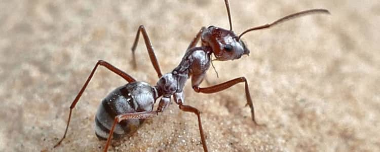 Ant Control Ainslie