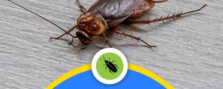 Cockroach Control Ainslie