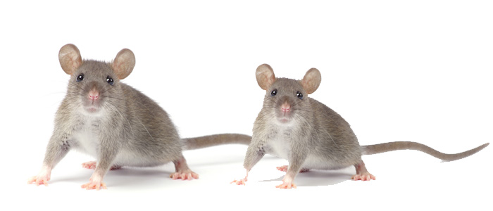 Rodent Control Ainslie